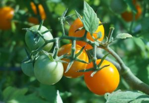 Garden, One Truth, God's Love, Bohemian, Tomato, pruning